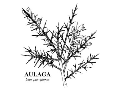 nombre cientfico o latino ulex parviflorus u nombre comn o vulgar aulaja tojo aliaga u familia leguminosae u arbusto muy espinoso