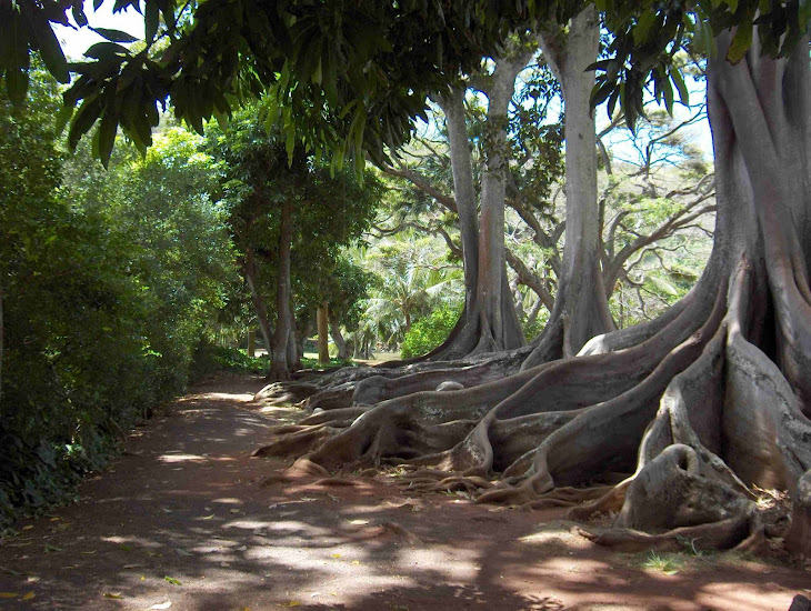 Cool Things I've Seen:  Moreton Bay fig trees, Allerton Garden, Kauai