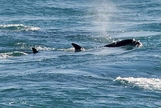 Orcas Season (killer whale)  - Punta Norte in Peninsula Valdes