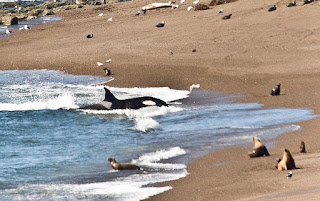 orcas attack in patagonia