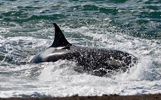 orca attack in Punta Norte Peninsula Valdes Patagonia Argentina