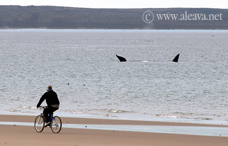 Whale watching season, Valdes Penisula near from Puerto Madryn