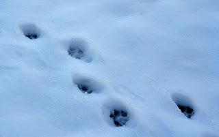 Ephemeral tracks in the snow; lawhawk (c) 2008