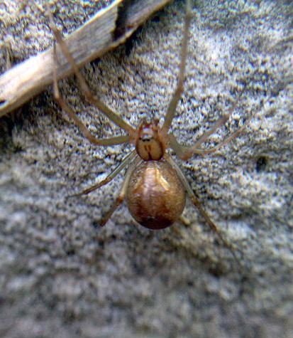 Arachnerds unidentified spiders for Extra mural cemetery brighton