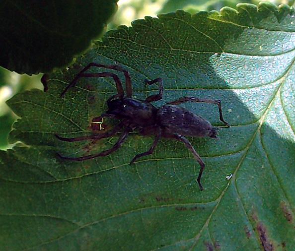 Arachnerds stone spiders drassodes sp for Extra mural cemetery brighton