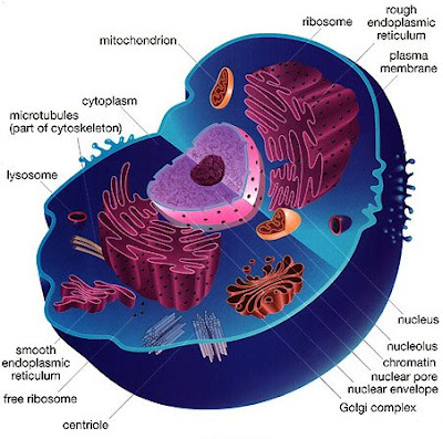 animal cells diagram. Animal Cell Chromosomes