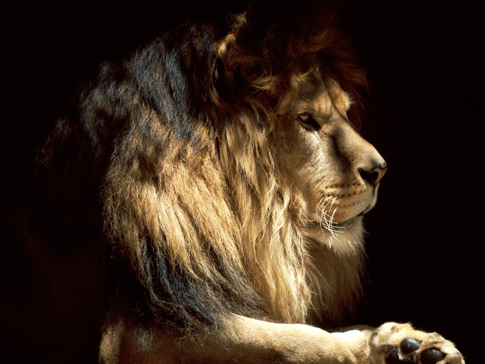 tiptop 3d hd wallpapers collection lion wallpapers