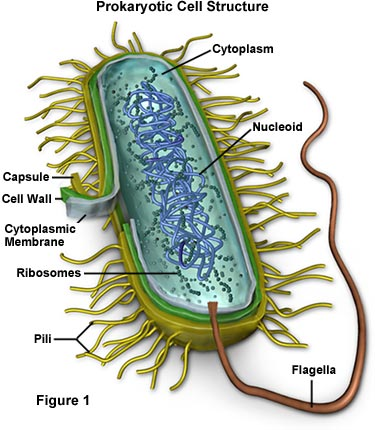 Animal Cell With Vacuole. cell central vacuole