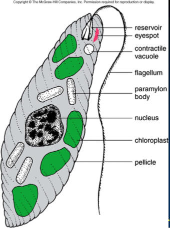 This is a great exle of a euglena cell you will be able to find