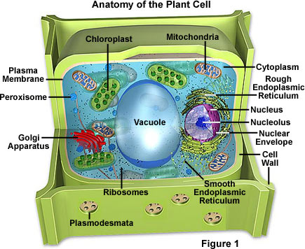 Animal Cell Organelles. animal cell parts diagram.