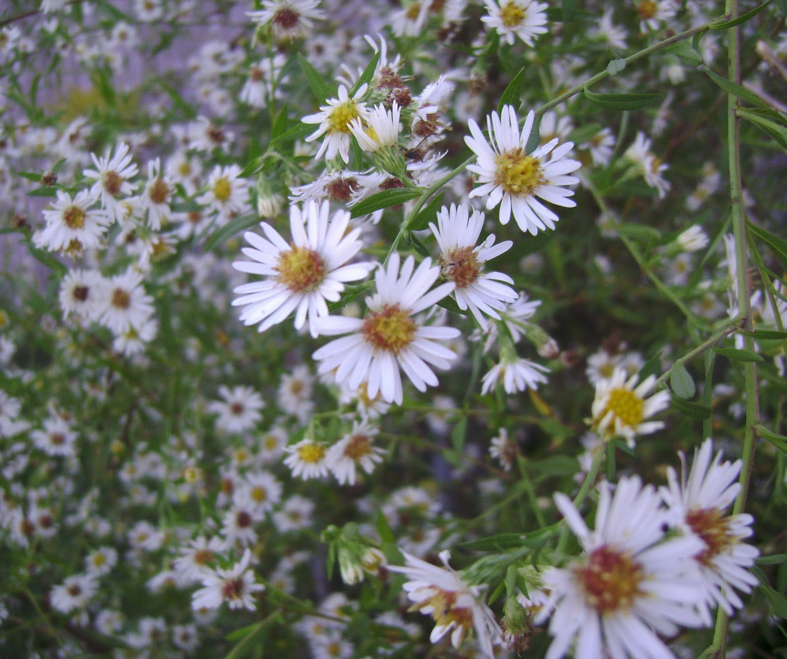Prairie roses garden october 2010 aster pilosus is a widely branched spreading aster with tiny white flowers about 12 wide the flowers have 15 30 ray florets and a central yellow disk mightylinksfo