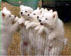 Samoyedos preciosos
