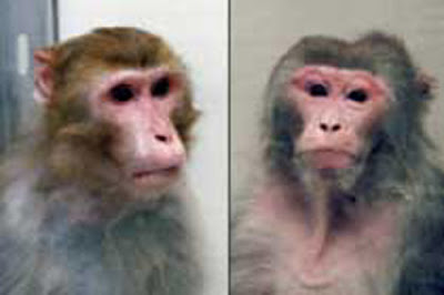 Calorie-restricted vs. ad libitum-fed Rhesus monkey