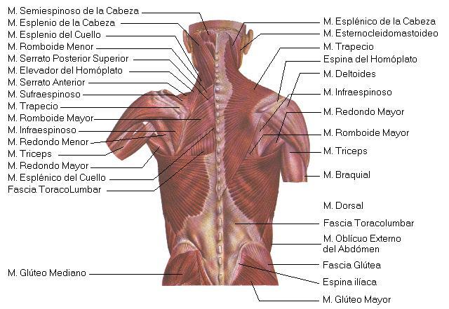 el cuerpo humano y sus partes: MUSCULOS DE LA ESPALDA