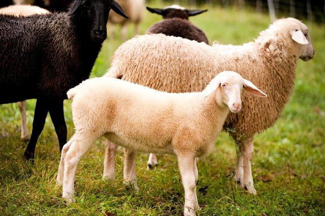 [sheep,+pcv+2]