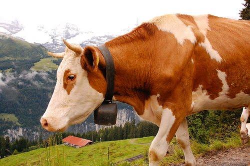 [Alpine+cow]
