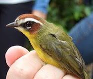 LINK - Click the Rufous-capped Warbler