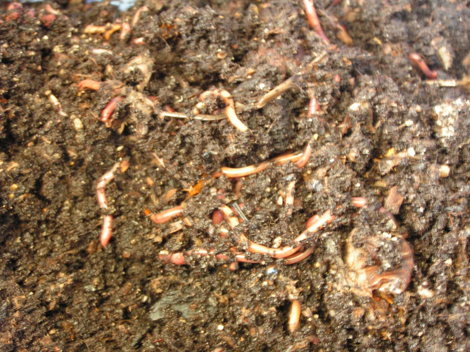 Rambling Anne: Vermicomposting and Cocoons