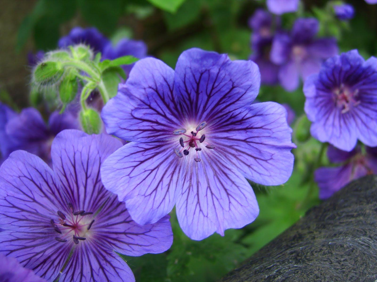Diary of a Mad Gardener: Blue Geranium