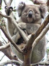 Koala Search