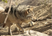 The Living Desert Wolf