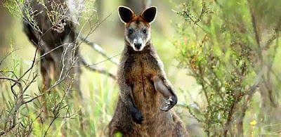 A Wallaby: Stoner?