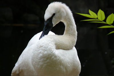 Trumpeter Swan, Denver Zoo, August 2007 by Joe Beine