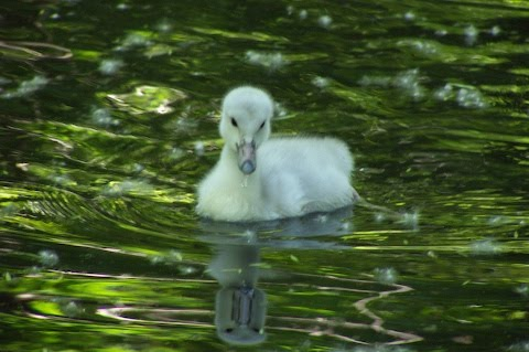 One week old trumpter swan cygnet