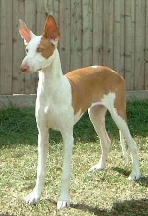 Hound Group: Ibizan Hound Top Dog
