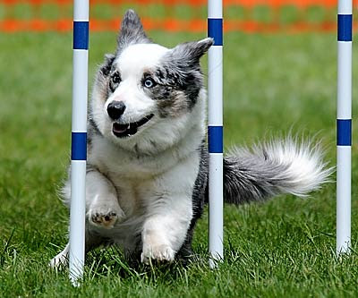 Cardigan Welsh Corgi Images