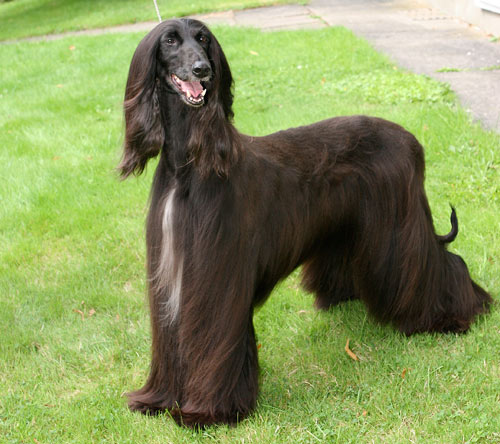Hound Group: Afghan Hound Dog Names