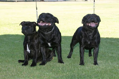 Staffordshire Bull Terrier Popular Breeders