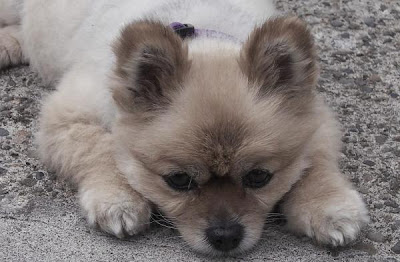 Pomeranian Small Dogs