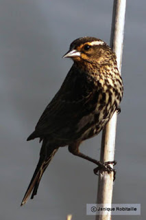 oiseau carouge femelle