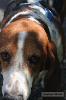 photo de chien basset hound hush pupie
