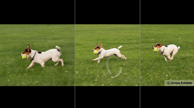 photo d'un chien Jack Russell qui court