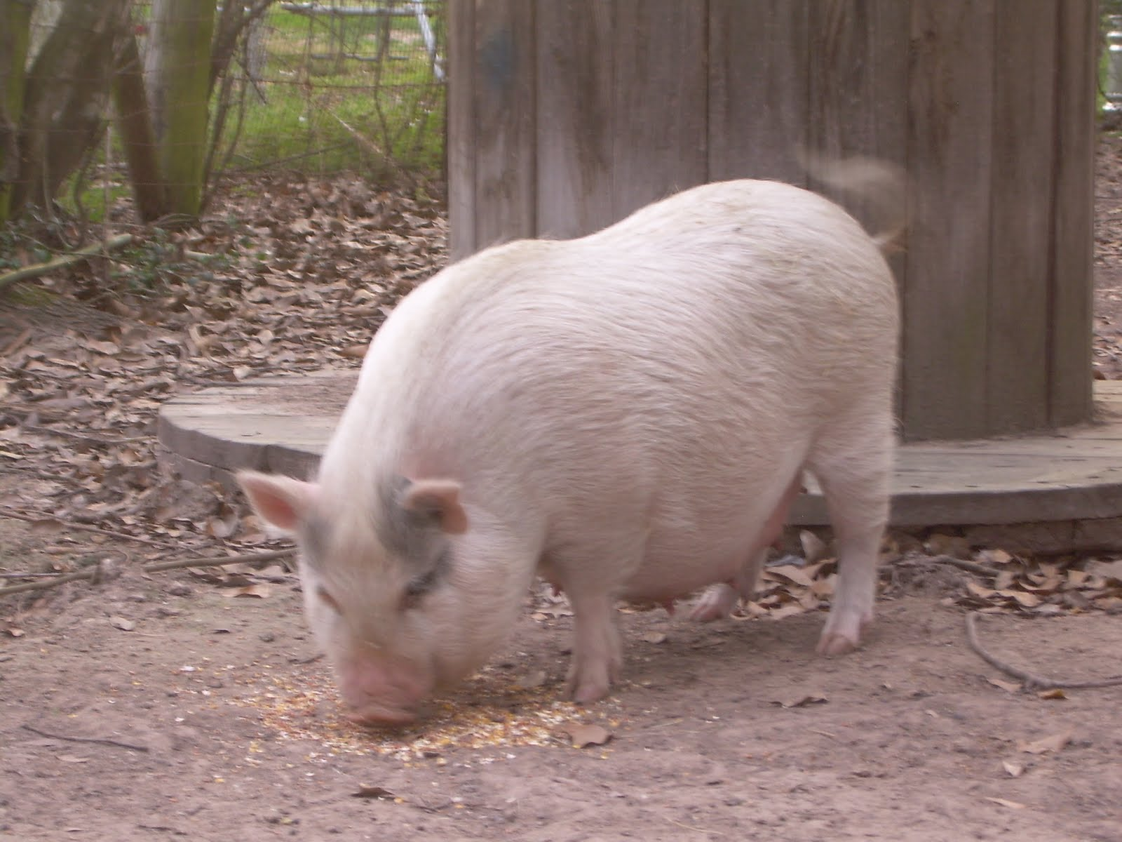 Adult mini potbelly pig - photo#6