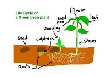 web scavenger: The Life Cycle of a Green Bean Plant.