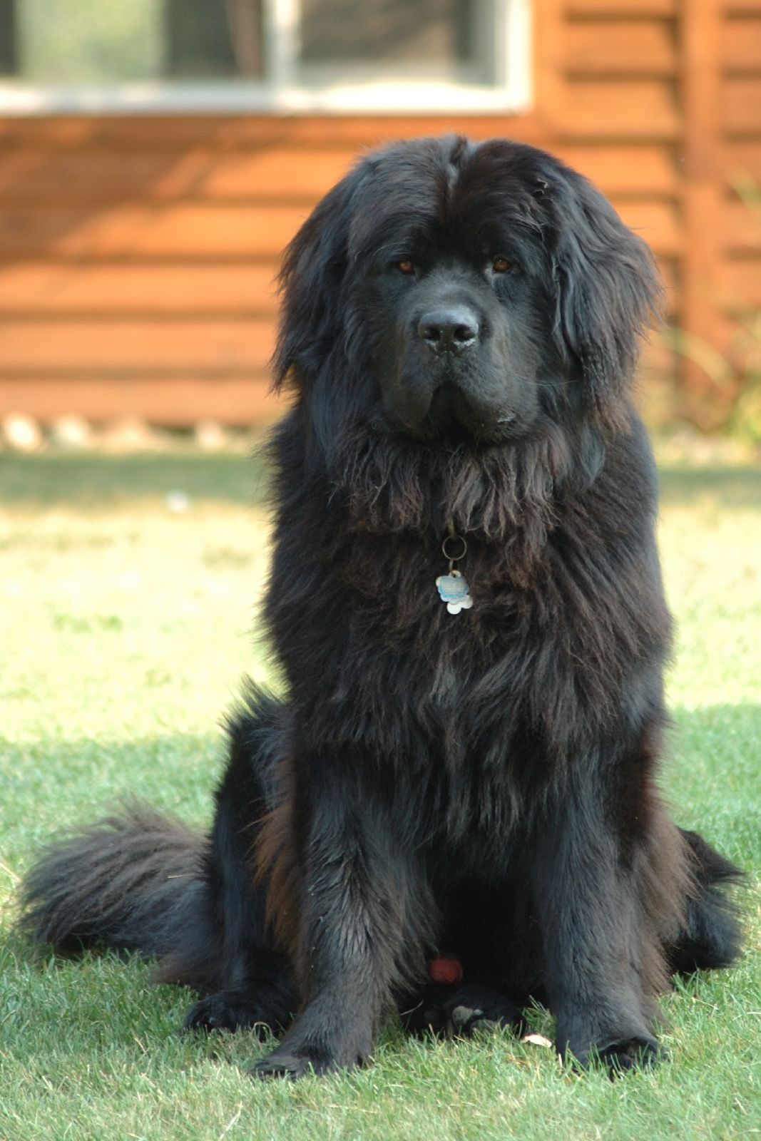 Newfoundland dog breed photos