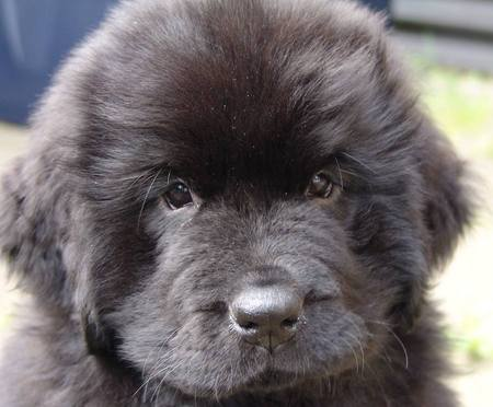 Newfoundland Dog Breed Photos | Dog Pictures OnlineNova Scotia Duck Tolling Retriever Cross Collie