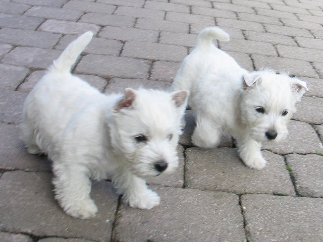 West Highland White Terrier Dog Breed Images