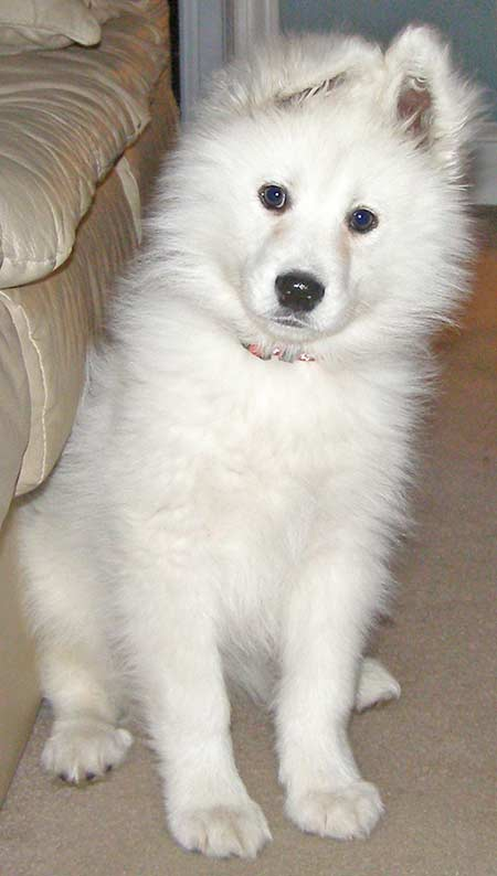 Samoyed Dog Breed Photos | Dog Pictures Online
