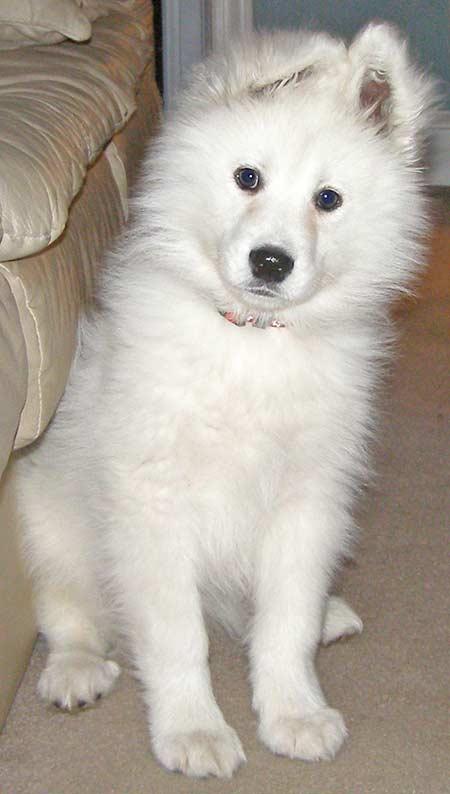 Samoyed dog breed photos