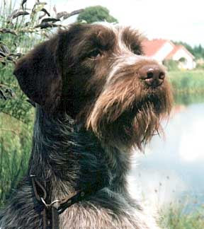 Wirehaired Pointing Griffon Dog Breed Photos | Dog Pictures Online