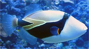 Reef Triggerfish Diet | RM.