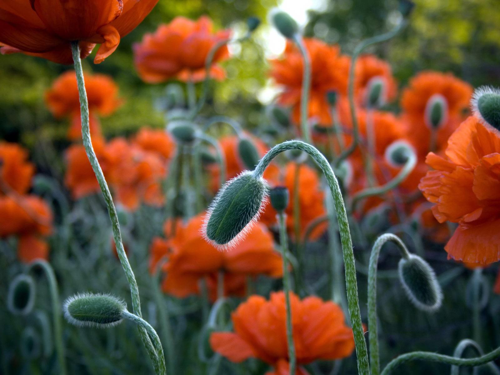 http://4.bp.blogspot.com/_CJCM6XRXugI/TUYxFVEGVZI/AAAAAAAAFQ4/fRmTshpVXMo/s1600/Red_Poppy.jpg