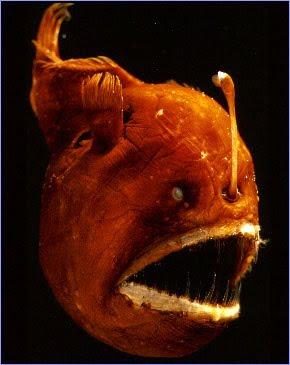 Fauna abisal : Los monstruos de las profundidades  Melanocitus