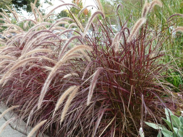 York downs golf and country club gardens 101 series for Blue ornamental grass varieties