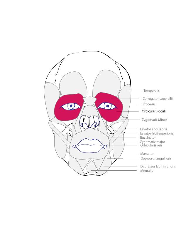 Orbicularis Oculi Muscle Human Muscular System