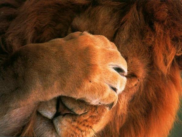 lion méditatif